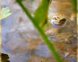 Frosch im Teich Seminarhaus Klyngenberg - Impressionen